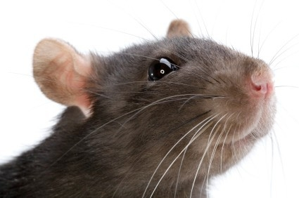 Martie S Rodent Solution Language Alert A Hair In My