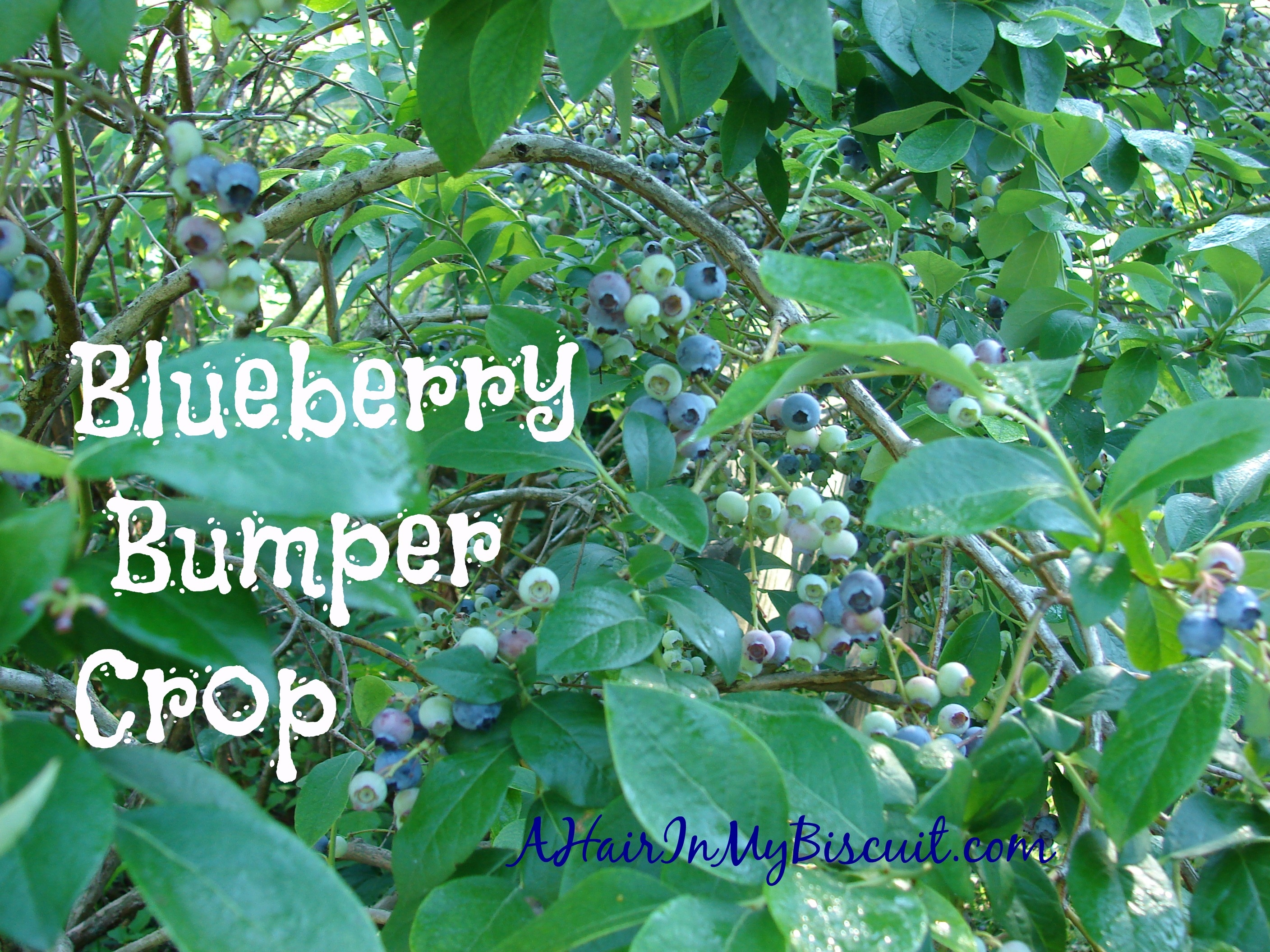 blueberry bumper crop